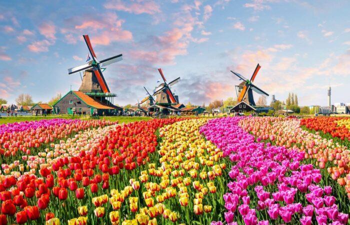 Blumenfeld mit Tulpen mit Windräder im Hintergrund